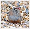 Red-legged Partridge (flickr quickr) Tags: partridges redleggedpartridge alectorisrufa gamebirds {vision}:{outdoor}=0859