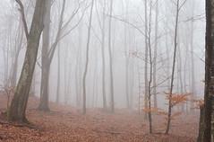Sankt Olof (heddar) Tags: nature leaves fog forest skne natur skog sterlen dimma lv bokskog
