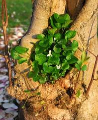 sanctuary (skutul) Tags: italy plant flower tree green nature spring nikon italia trunk magnolia viola sanctuary pavia d80