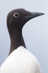 Common Murre - Uria aalge (L.Mikonranta) Tags: bird birds norway canon eos is 300mm 7d l usm common f28 ef guillemot murre norja vard uria aalge varanger canonef300mmf28lisusm hornya canoneos7d etelnkiisla copyrightlm uriaal