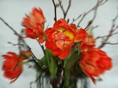 indoor-spring (nirak68) Tags: tulipa tulpen liliaceae schnittblume liliengewchs
