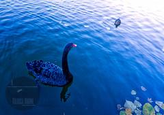Facing each other II (Valoisa Huone   photographer Petteri Sopanen) Tags: park blackandwhite bird horizontal duck swan pond mallard rm uygxp9wbzee