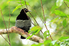 Male Victoria's Riflebird, Ptiloris victoriae (aussiegypsy_Land of Tables, FNQ) Tags: wild black male bird forest rainforest native wildlife north rifle australian australia exotic birdofparadise queensland tropical aussie juvenile tropics worldheritage kuranda plumage birdlife fnq athertontablelands wettropics victoriasriflebird ptilorisvictoriae riflebird tnq paradisaeidae