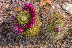 Cactus para Jacky. No por lo que pinchan, que ella es muy dulce y suave.(Explorer) (Nati Almao1) Tags: