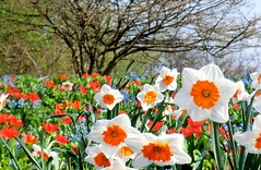 Fried Eggs (farmspeedracer) Tags: park red sky orange white flower tree green nature germany garden spring