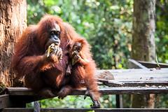 Sandra and Baby 4566 (Ursula in Aus (Resting - Away)) Tags: animal sumatra indonesia sandra unesco orangutan bukitlawang gunungleusernationalpark earthasia