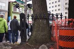 Fence-Eating Tree at James and Bold (Vic Gedris) Tags: ontario canada tree fence walking downtown tour walk hamilton pedestrians jamesstreet hfg jamesst thehammer janeswalk raisethehammer