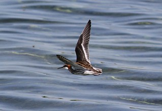 Red-necked Phalarope In Flight