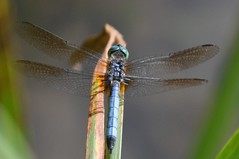 the dashing mr. blue (christiaan_25) Tags: blue shadow wild sunlight nature sunshine animal insect outside outdoors wings eyes dragonfly outdoor wildlife lakeside explore frame skimmer 411 odonata libellulidae anisoptera pachydiplax bluedasher pachydiplaxlongipennis jul292015