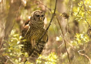 Barred Owl (Strix varia) BADO - Young and Alert...