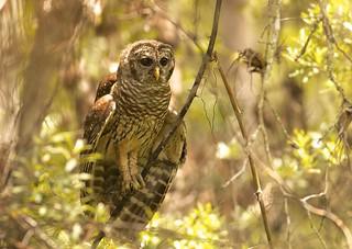 Barred Owl (Strix varia) BADO - Young and Alert...