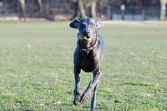 VANA (VanaTulsi) Tags: vanatulsi weim weimaraner dog blueweim blueweimaraner