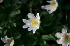 Anemone nemorosa (FrVi) Tags: anemonenemorosa fiore floraalpina giorno allaperto clear orobie lombardia nature mountains marzo
