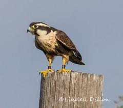 Aplomado Falcon (Falco femoralis) (Lindell Dillon) Tags: rarity aplomadofalcon lagunaatascosanwr texas lindelldillon