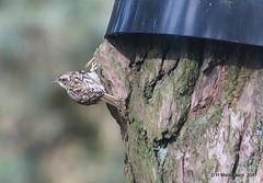 Boomkruiper (ditmaliepaard) Tags: boomkruiper vogel bird safaripark beeksebergen hilvarenbeek