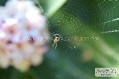 (finalistJPN) Tags: web spyder spider flower spring sunny daylight discoverychannel nationalgeographic tripjapan visitjapan planetearth lonelyplanet japanguide japanphoto