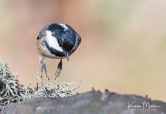 Coal Tit (Karen Miller Photography) Tags: coaltit tit bird lochgarten rspb gardenbird nature wildlife outdoors scotland highlands nikon tamron150600mm d610 jumping hopping motion action flight
