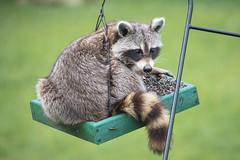 130A5648 (SwiftTheFox) Tags: raccoon trashpanda raccoons canon7dmkii 7dmkii canon 7d animal animals wildlife birdseed feeder eating stealing caught busted prowl