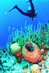 Diving in Belize (jnhPhoto) Tags: belize2017 jnhphoto belize scuba scubadiving ocean coral corals coralreef