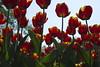 _DSC0765 (Riccardo Q.) Tags: parcosegurtàtulipani places parco altreparolechiave fiori tulipani segurtà