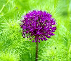 Purple on green. (pstone646) Tags: flower flora foliage colour nature closeup green purple plant bokeh kent garden