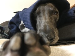 Selfie (VanaTulsi) Tags: vanatulsi weim weimaraner dog blueweim blueweimaraner