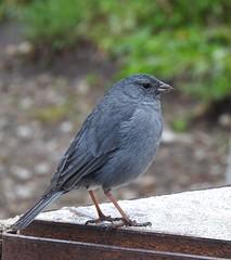 Plumbeous Sierra-Finch (VancouverBirder) Tags: