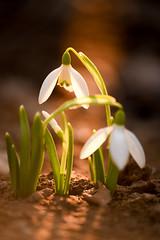 Snowdrops at sunset (cosovan.vadim) Tags: color flower spring nature nikon d750 macro light bokeh snowdrop sigma 70300mm sunrise sunset golden ray