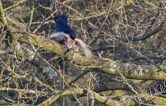 Catch your own dam dinner.! (nondesigner59) Tags: kestrel shrew crow nature wildlife hunter predator escape flight bird copyrightmmee eos7dmkii nondesigner nd59