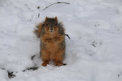 Snowy Squirrels in Ann Arbor at the University of Michigan (March 14th, 2017) (cseeman) Tags: gobluesquirrels squirrels annarbor michigan animal campus universityofmichigan umsquirrels03142017 winter eating peanut marchumsquirrel snow umsquirrel foxsquirrels easternfoxsquirrels michiganfoxsquirrels universityofmichiganfoxsquirrels