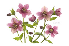 Lenten Roses 'Tutu' (Jacky Parker Flower Photography) Tags: helleborus helleborusxhybridustutu lentenrose christmasrose flowers closeup highkey landscapeorientation horizontalformat springtime spring2017 whitebackground colorful vibrant freshness fragility beautyinnature outdoors nopeople flowerphotography creativeedit nikon uk