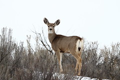 Mule deer (jlcummins - Washington State) Tags: fauna widlife washingtonstate muledeer wildlife okanogancounty bridgeportstatepark natureenthusiasts