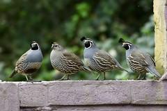 quail californiaquail