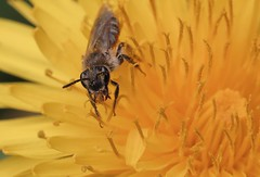Andrena ventralis f - 17 III 2017 (el.gritche) Tags: hymenoptera france 40 andrenidae andrena female ventralis taraxacum asteraceae