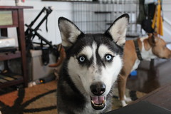 ZaZa the Husky! (sfreeman8875) Tags: dog husky fost foster pup adorable wet spring cuddle mut pit pitbull pibble cleaning grass exploring