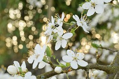 ✨ Twinkling blossoms... ✨ (Maria Godfrida) Tags: nature flora flowers blossoms bloom bokeh sunlight white plants spring season closeup branch tree outdoor twinkle glow garden throughherlens 7dwf