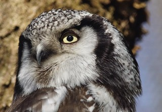 Tg Nbg        Northern hawk-owl        170304