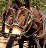 Georgia Mule Drawn Quail Hunt 16