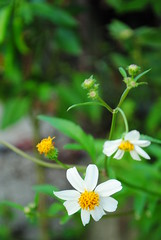 A wild tiny-flowers (vokasional) Tags: nikkor1855mm