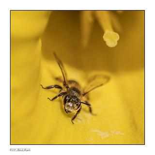 Mellow yellow - Bee in daff [Explored]