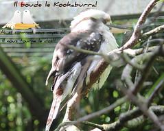 """Ce Kookaburra  """"Dacelo Gigas"""" et moi nous vous souhaitons un agréable vendredi. (liliane776.) Tags: kookaburra"""