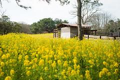 . (Wunkai) Tags: fukuokashi fukuokaken japan jp uminonakamichiseasidepark 海の中道海浜公園 動物の森 zoo 福岡 yellow 花海 cottage 小屋 九州 kyushu