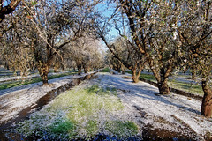 Orchard_4575-2 (jbillings13) Tags: california landscapes farming almond orchard orchards kerncounty almondorchard
