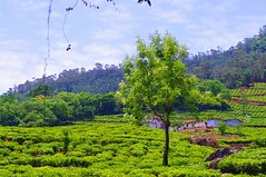 Tea plantation in the Nilgiris, Tamil Nadu, India (cheehuey) Tags: india nature landscape 50mm pentax greenery tamilnadu teaplantation nilgiris incredibleindia