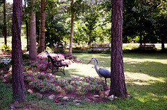Impatiens & Great Blue Heron in NC Garden 9-06 (catherinetodd2) Tags: garden northcarolina 2006 greatblueheron impatiens