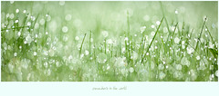somewhere (Ana Lukascuk) Tags: reflection green water grass rain bokeh drop dew