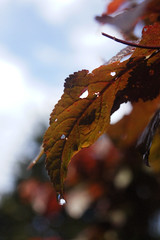 Leaves 018 (Ethan Sztuhar) Tags: red sun blur leaves closeup focus warm close bokeh sony a33 alpha