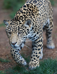 ON THE PROWL (WisteriaLane) Tags: specanimal