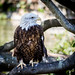 """American Bald Eagle • <a style=""""font-size:0.8em;"""" href=""""http://www.flickr.com/photos/41711332@N00/8885211304/"""" target=""""_blank"""">View on Flickr</a>"""
