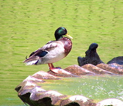 """duck • <a style=""""font-size:0.8em;"""" href=""""http://www.flickr.com/photos/95808399@N03/8983056555/"""" target=""""_blank"""">View on Flickr</a>"""